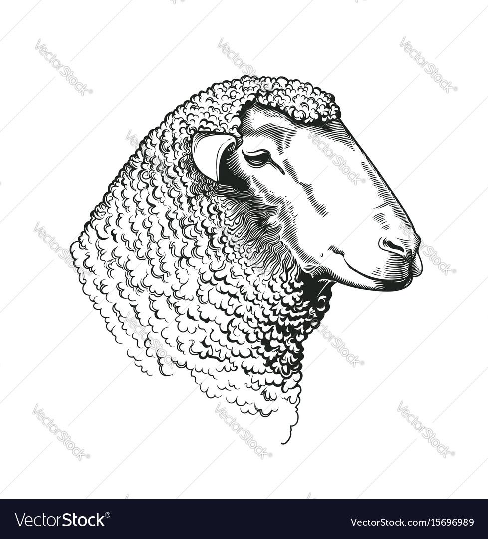 Head Of Ram Of Dohne Merino Breed Drawn In Vintage