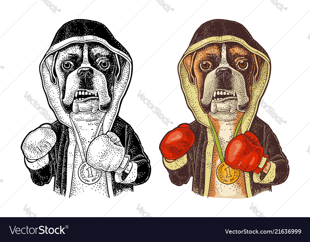 Dog boxer dressed in human in robe gloves