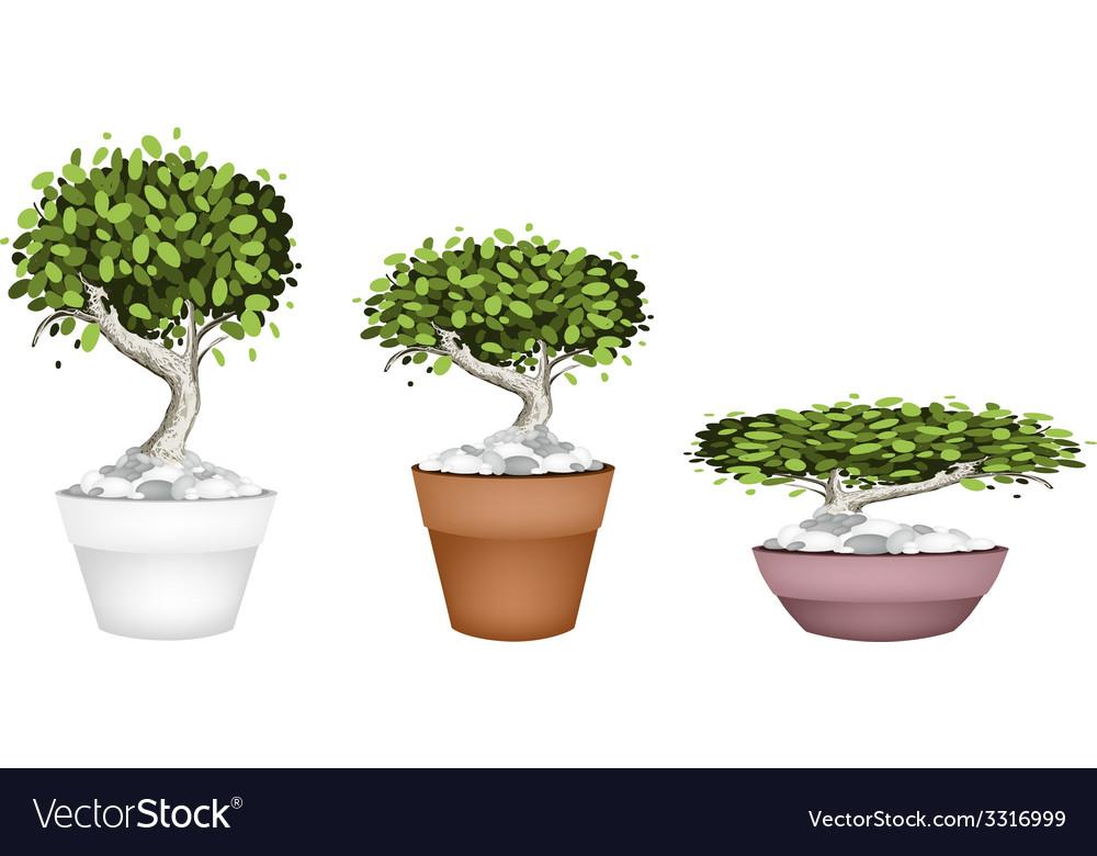 Set Bonsai Tree In Ceramic Pots Royalty Free Vector Image