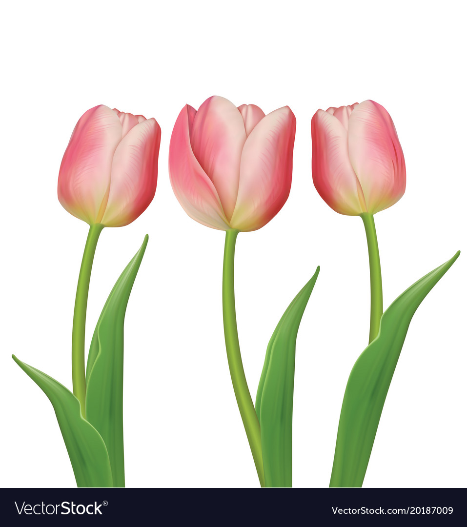 Tulips Flowers On White Background Royalty Free Vector Image