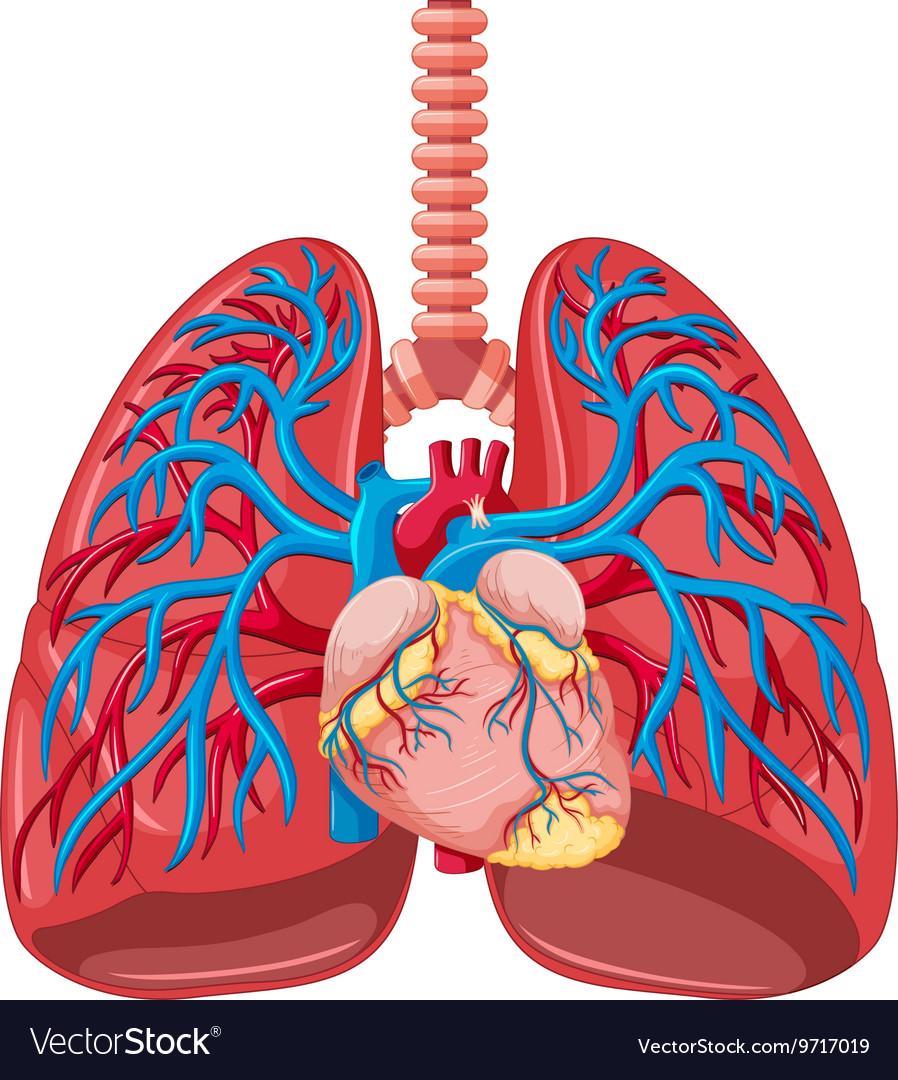 Close up human lung Royalty Free Vector Image - VectorStock