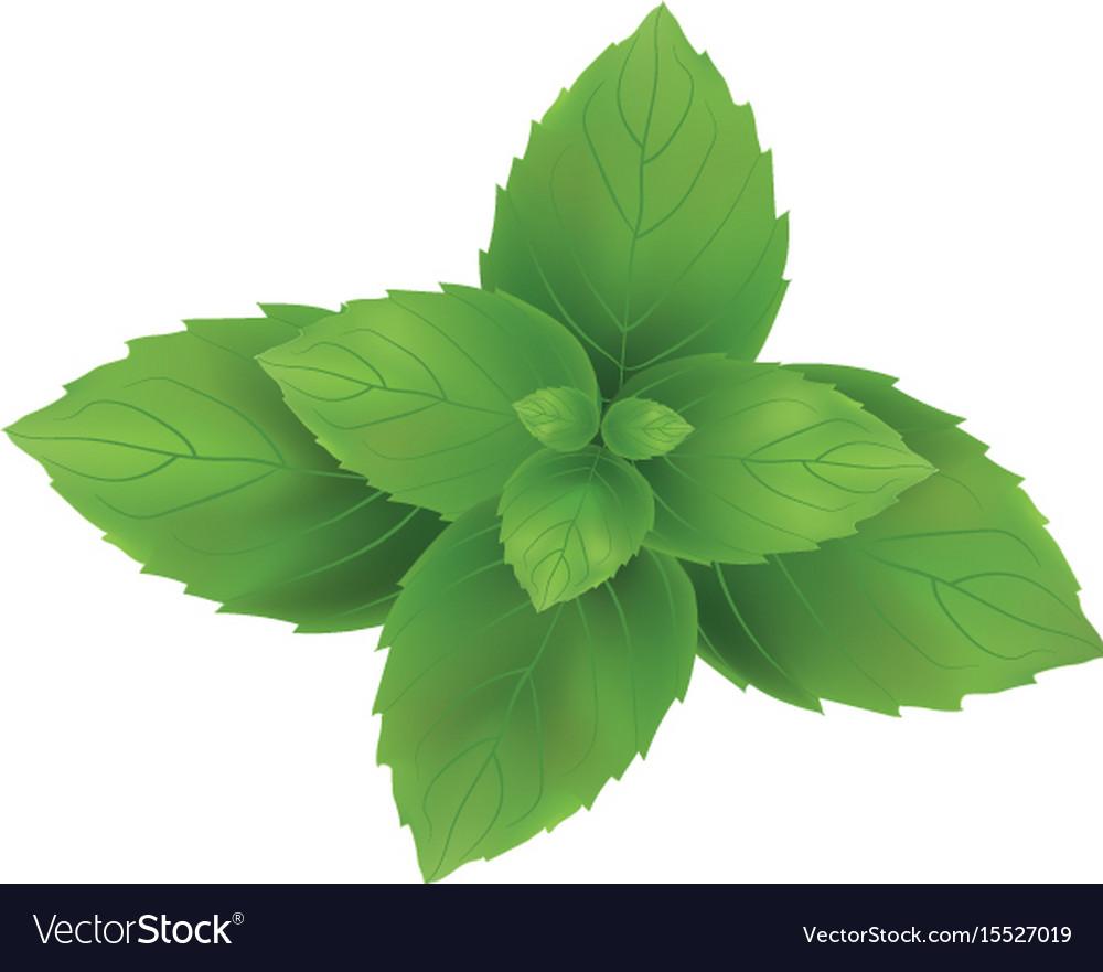 Mint mint leaves green