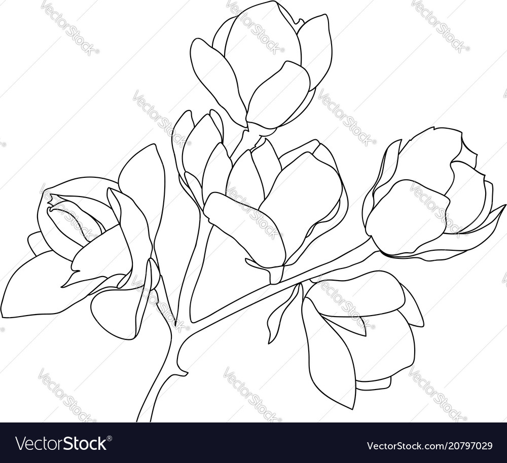 Sketch blossoming magnolia black on white vector image