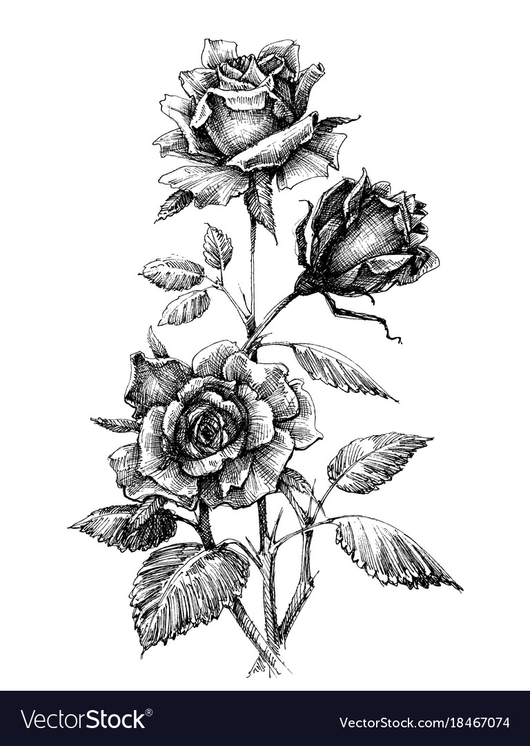 Hand drawn rose etch style Royalty Free Vector Image
