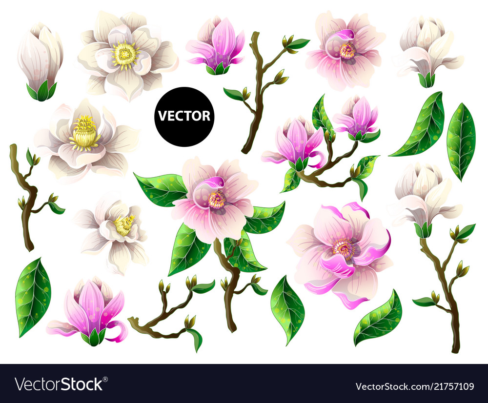 Set of white and pink magnolia flowers