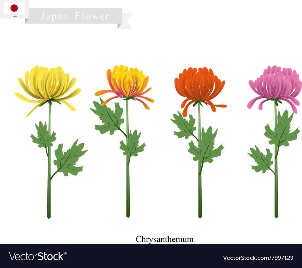 Chrysanthemum Flowers National Flower of Japan vector image