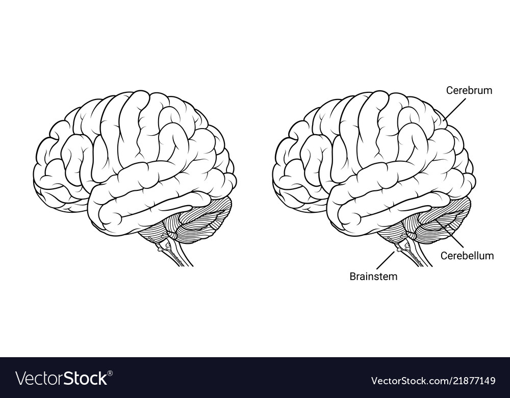 Human Brain Anatomy Side View Outline Royalty Free Vector