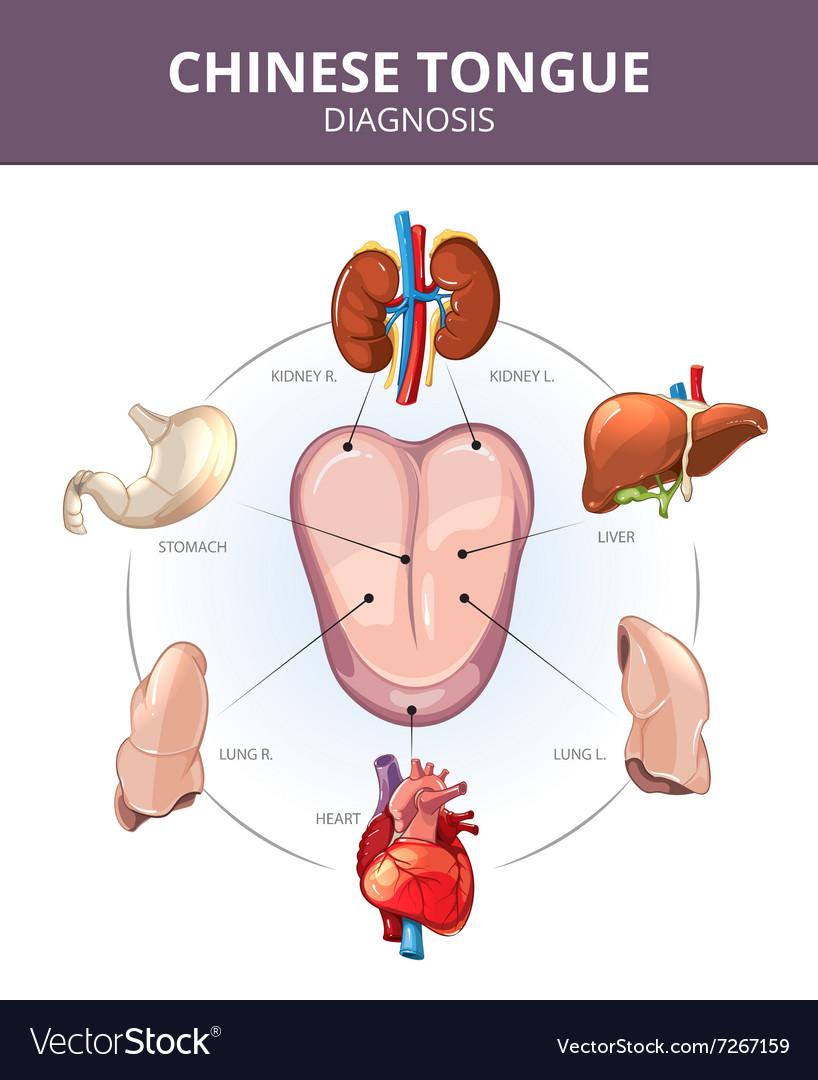 Chinese Tongue Diagnosis Internal organs