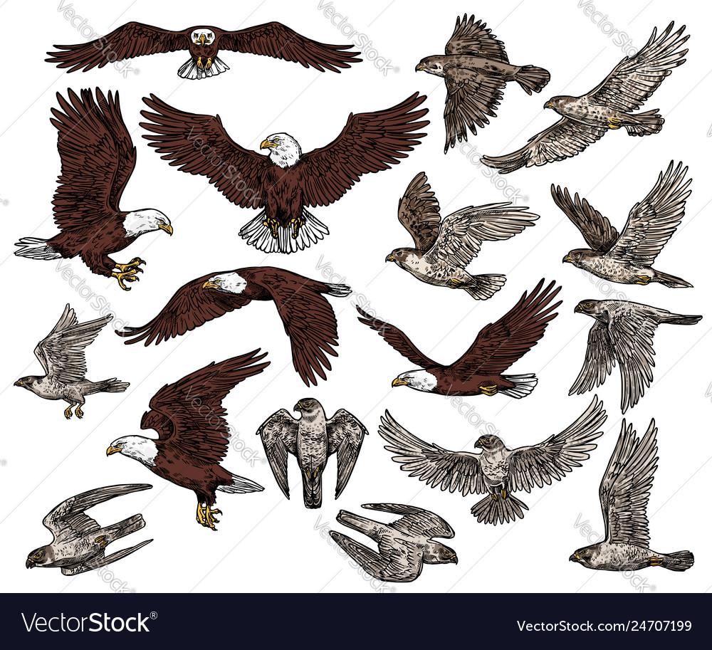 Birds Of Prey Predatory Eagle And Hawk Falcons Vector Image