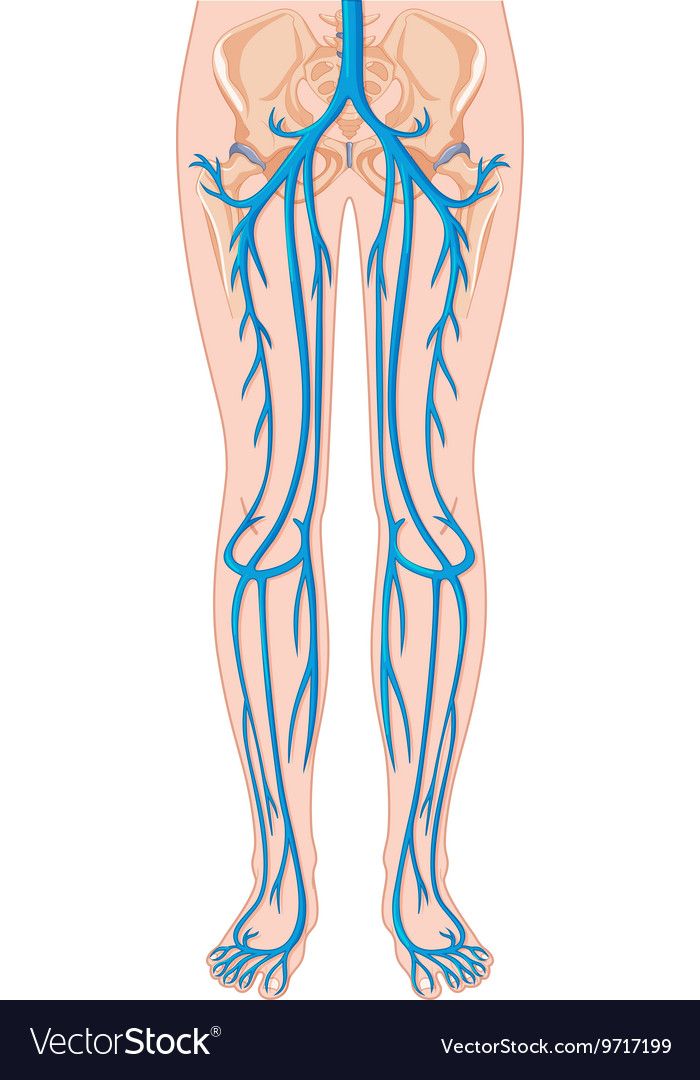 Blood Vessels In Human Body Royalty Free Vector Image