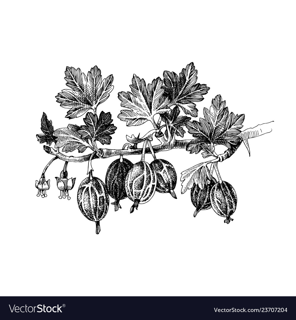 Hand drawn gooseberry branch