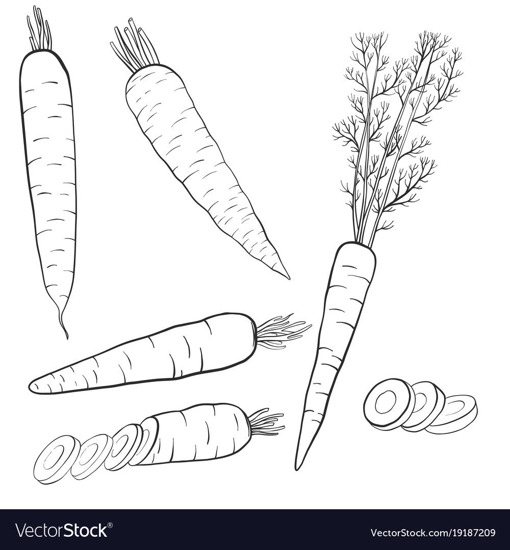 Drawing Carrots Royalty Free Vector Image Vectorstock
