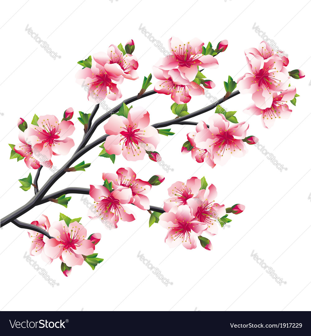 Cherry Blossoms Branch Japanese Tree Sakura Vector Image
