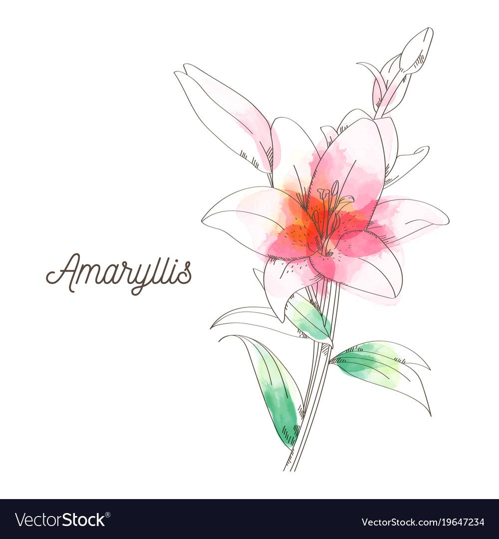 Amaryllis Flower Painting On White Background Vector Image