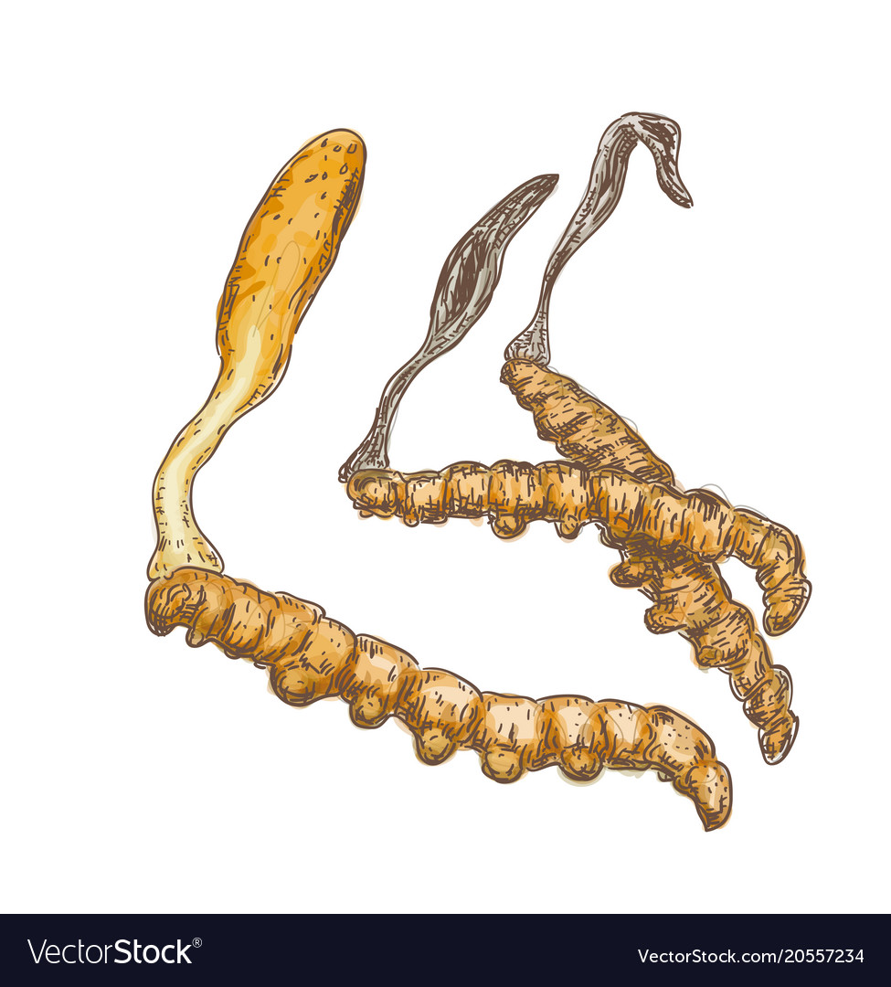 Cordyceps on a white background