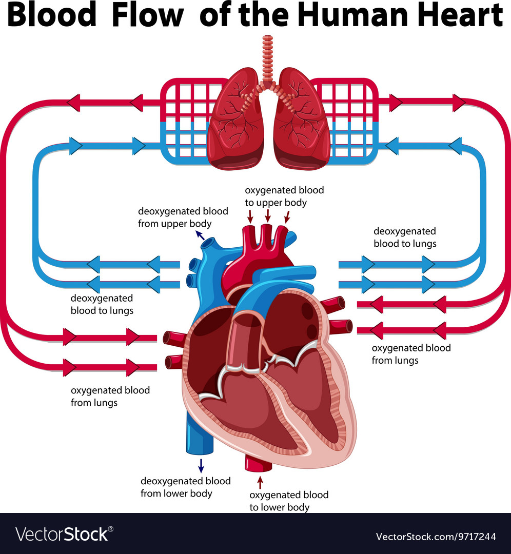 Chart showing blood flow of human heart vector image