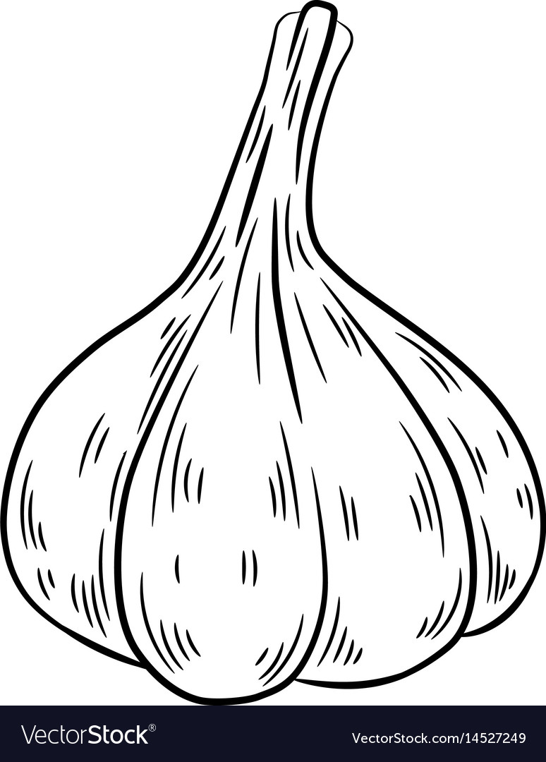 Garlic drawing isolated on white background