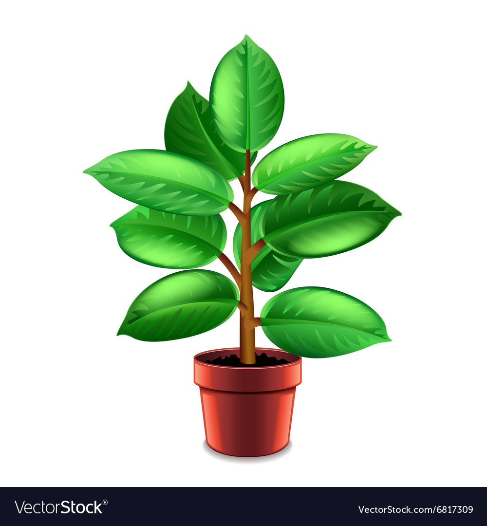 Ficus tree in pot isolated on white