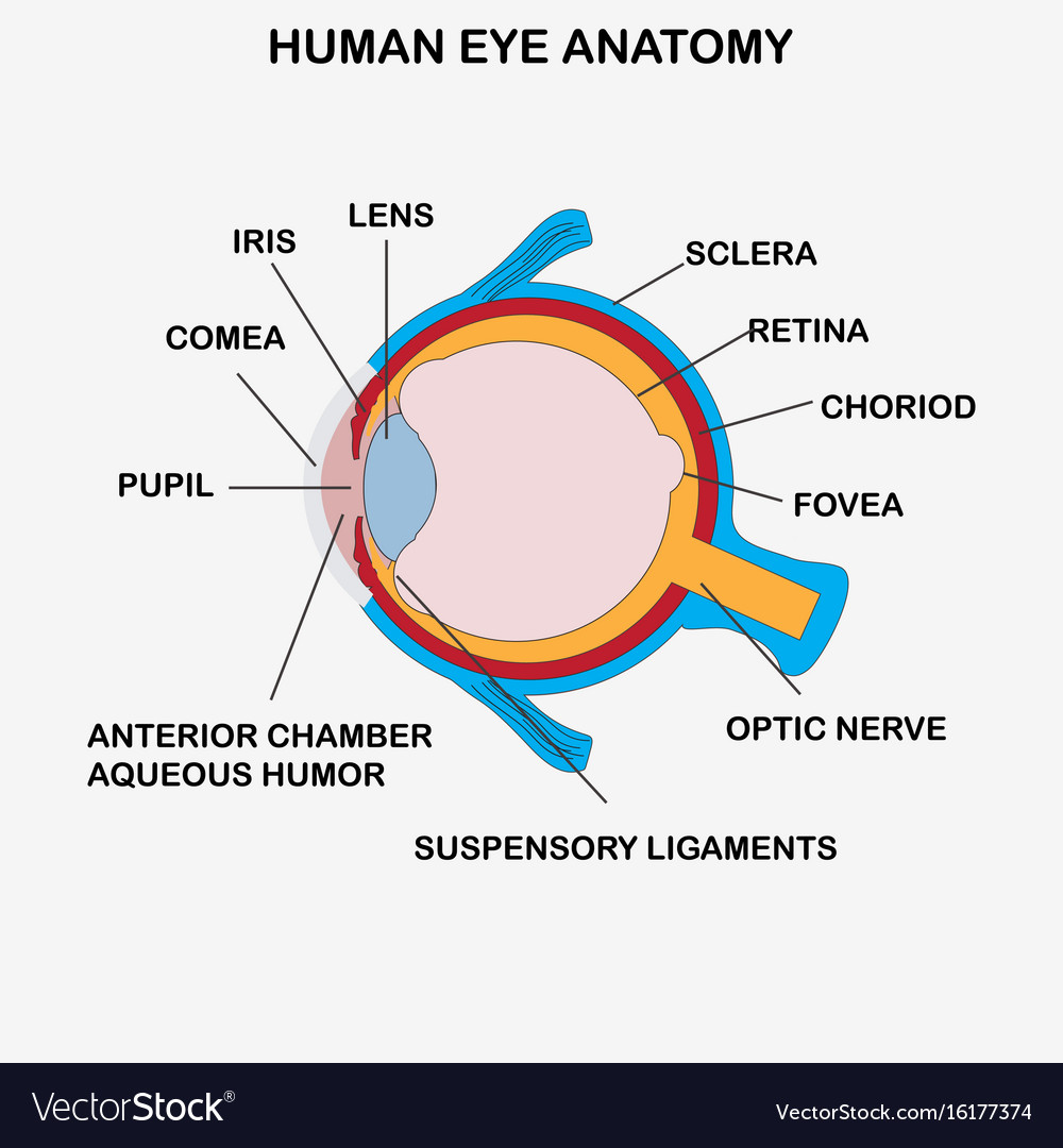 Anatomy of human eye Royalty Free Vector Image