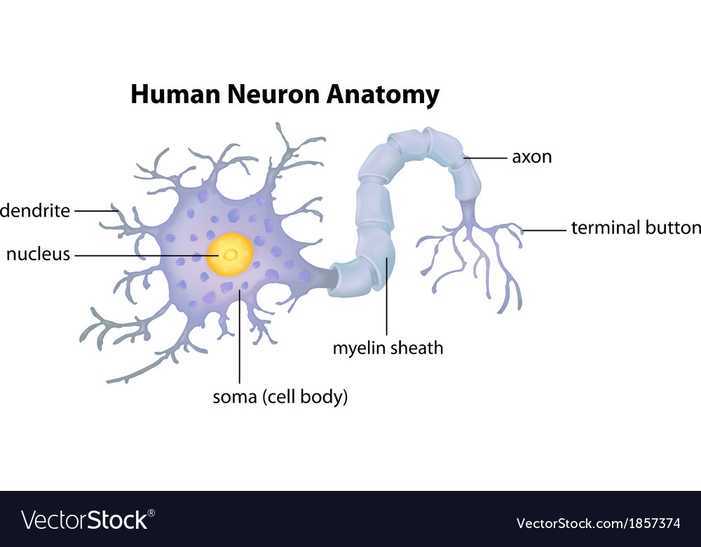 Human Neuron Anatomy Royalty Free Vector Image
