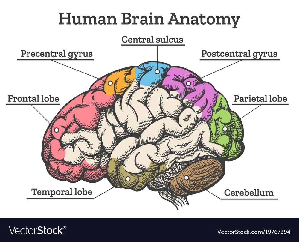 Human Brain Anatomy Diagram Royalty Free Vector Image Body