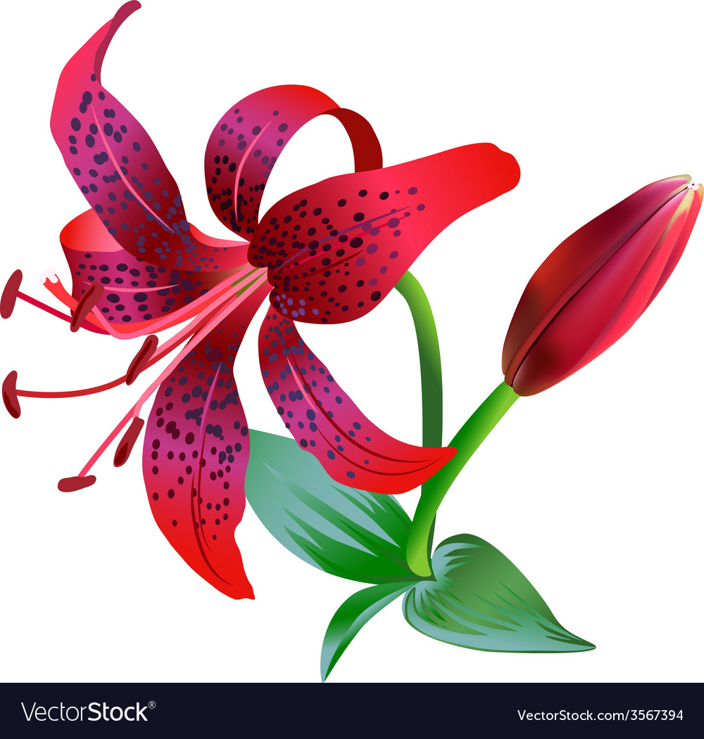 Realistic of red tiger lily royalty free vector image realistic of red tiger lily vector image izmirmasajfo
