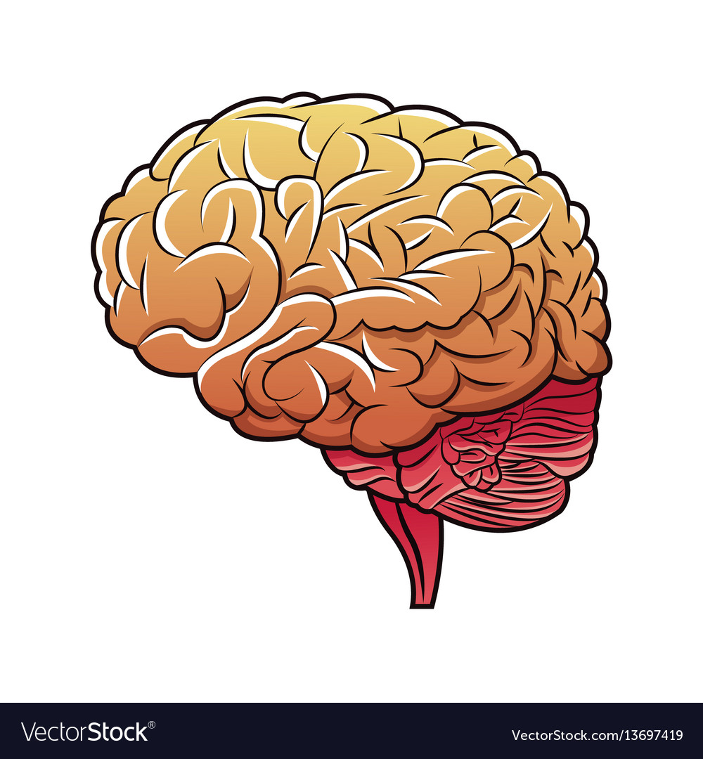Human Brain Structure Image Royalty Free Vector Image