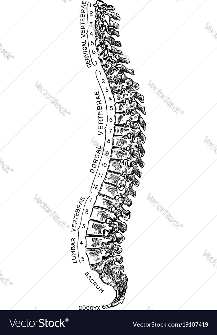 Spinal Column Vintage Royalty Free Vector Image