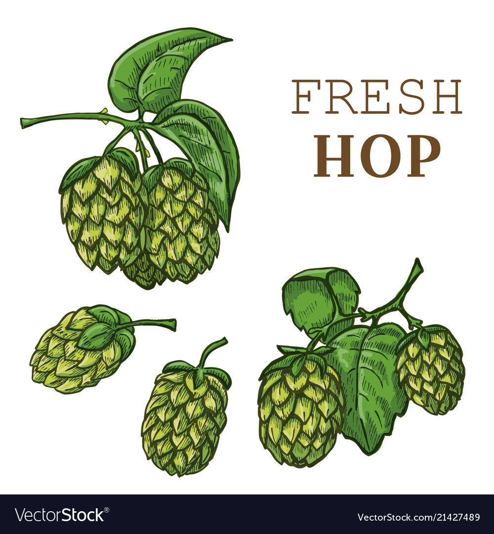 Sketches of hop plant hop on a branch with leaves