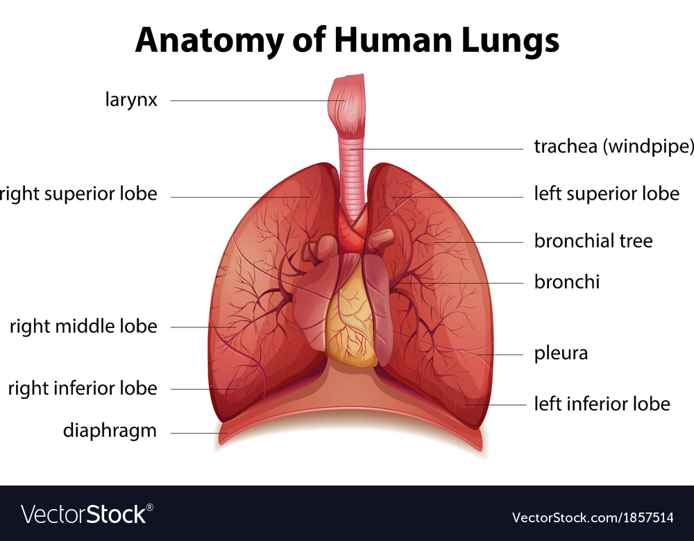 Human Respiratory System Royalty Free Vector Image