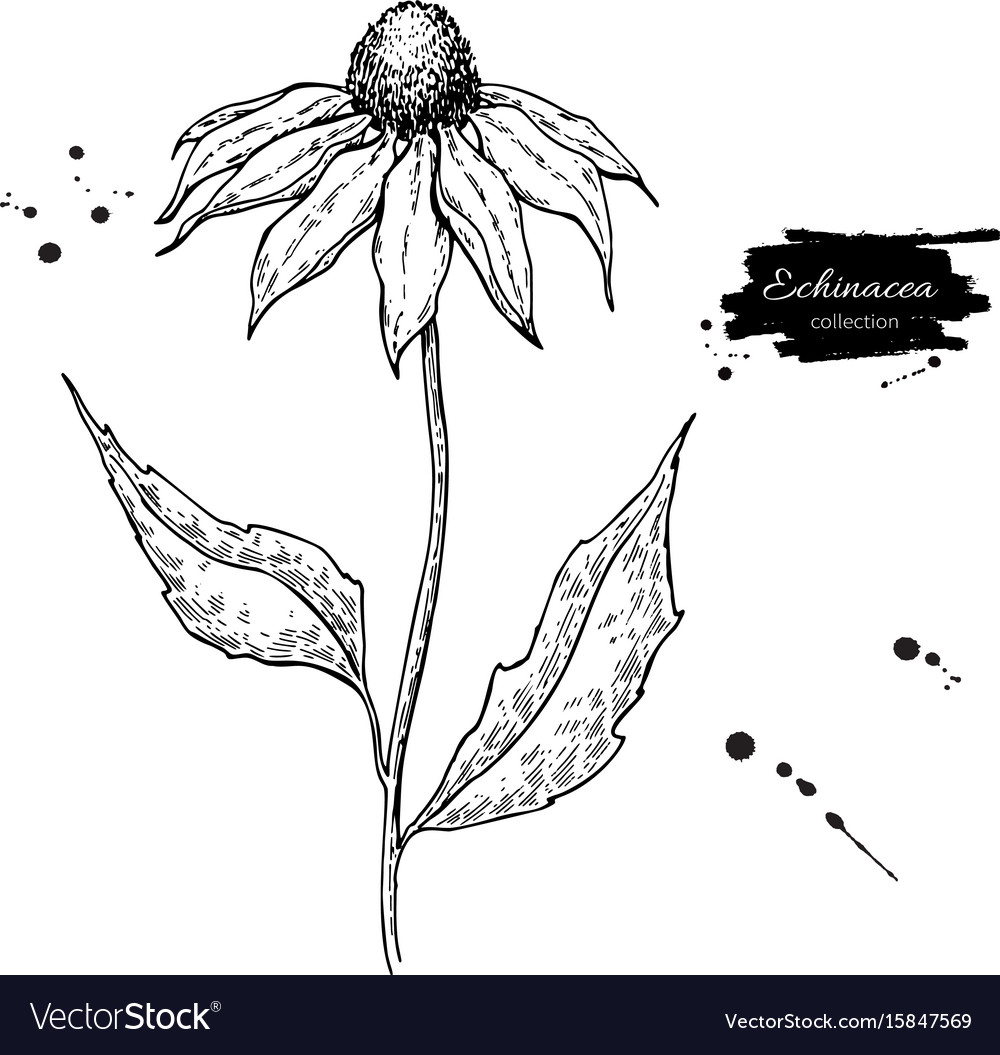 Echinacea drawing isolated purpurea flower
