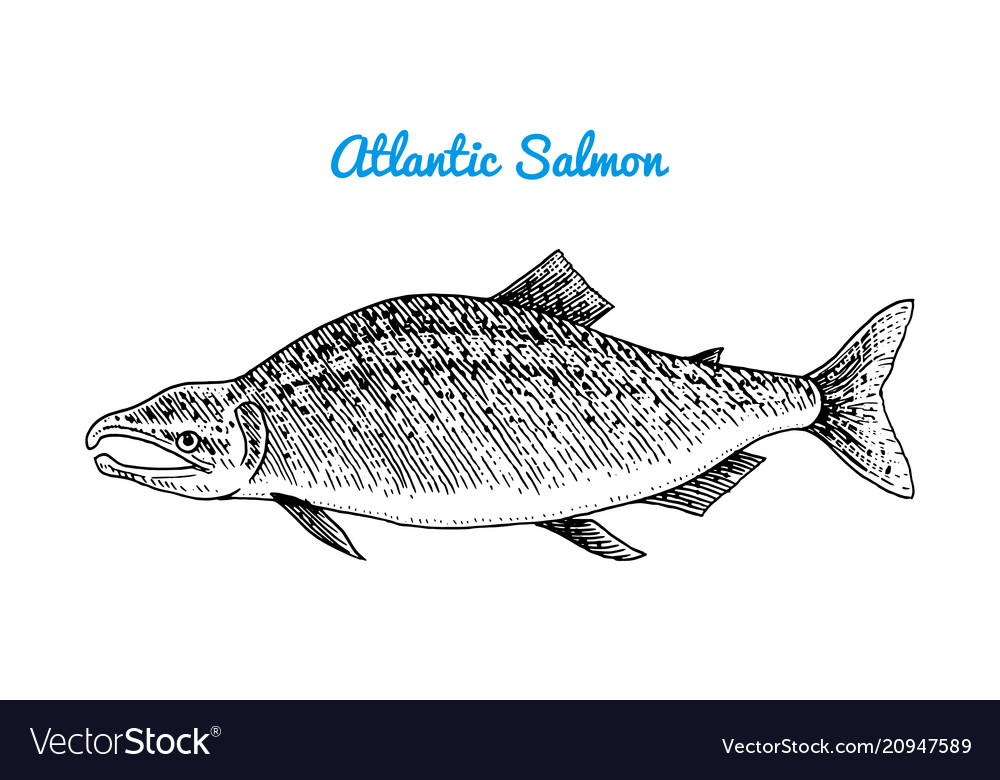 Atlantic salmon spawn river and lake fish sea