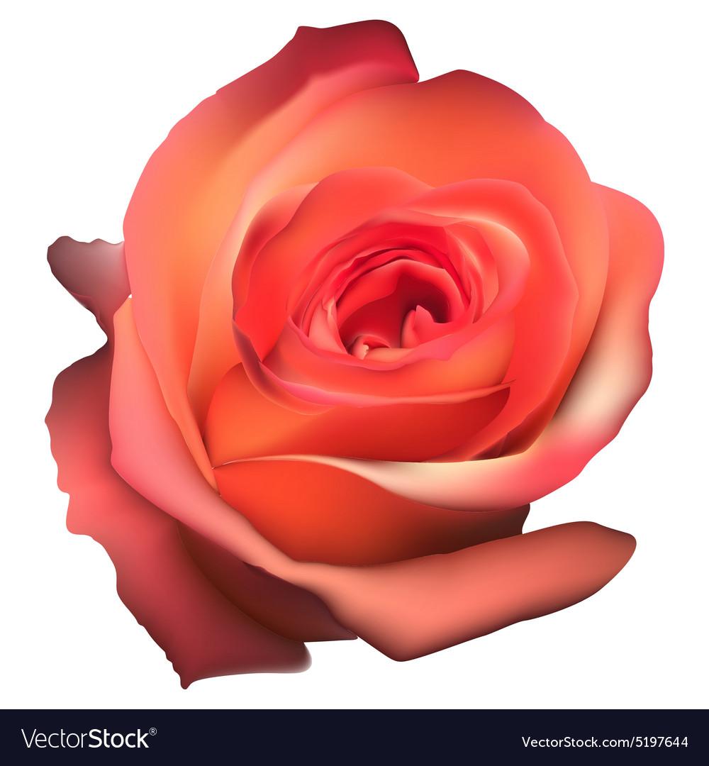 Orange Rose Flower isolated EPS 10 vector image