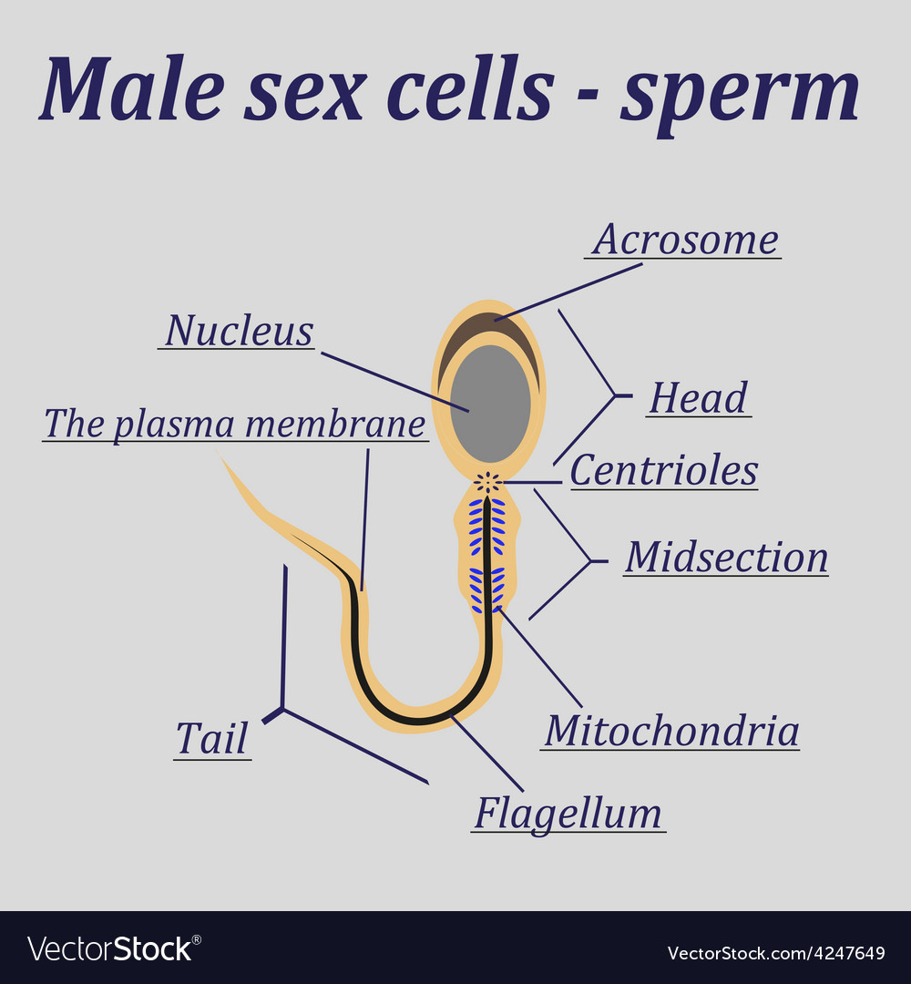 Diagram of sperm auto electrical wiring diagram diagram of the male sex cells sperm royalty free vector rh vectorstock com diagram of spermatogenesis ccuart Image collections