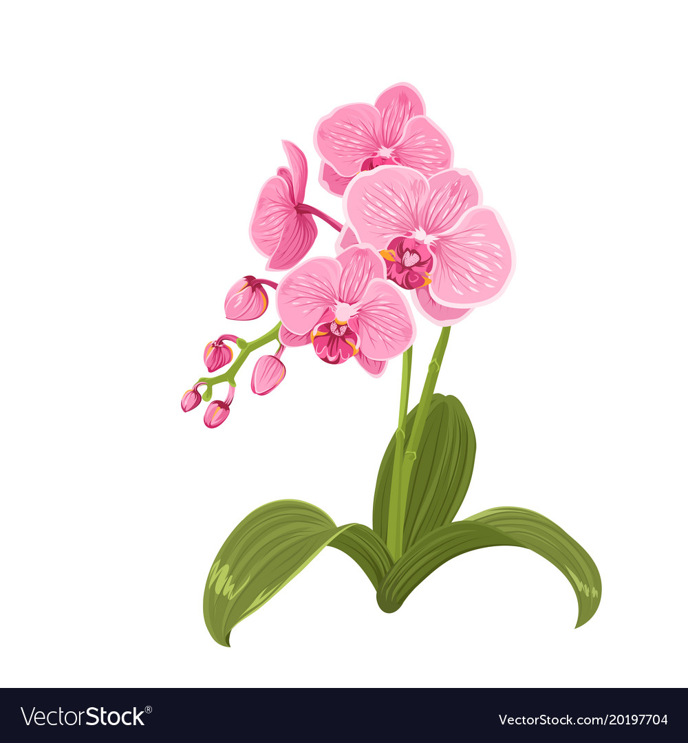Pink Orchid Phalaenopsis Flower Realistic Drawing Vector Image