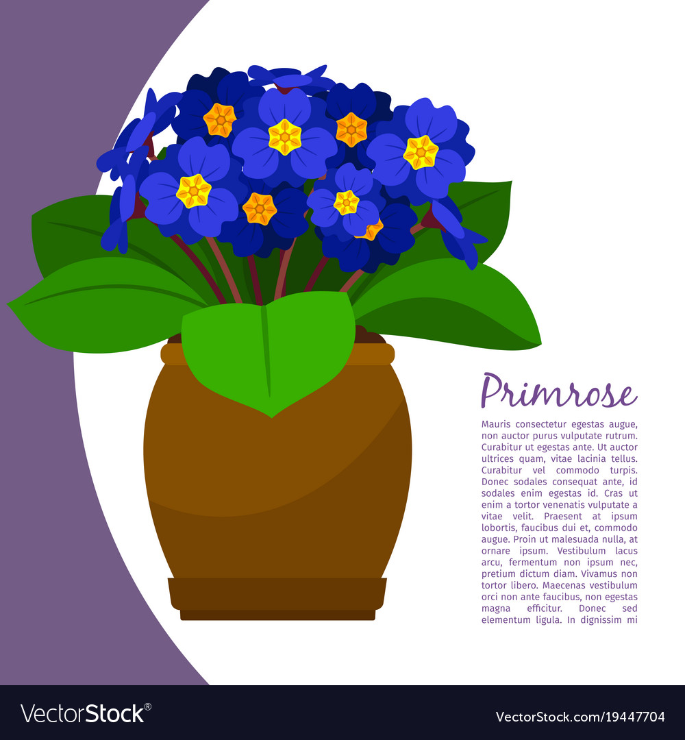 Primrose indoor plant in pot banner vector image