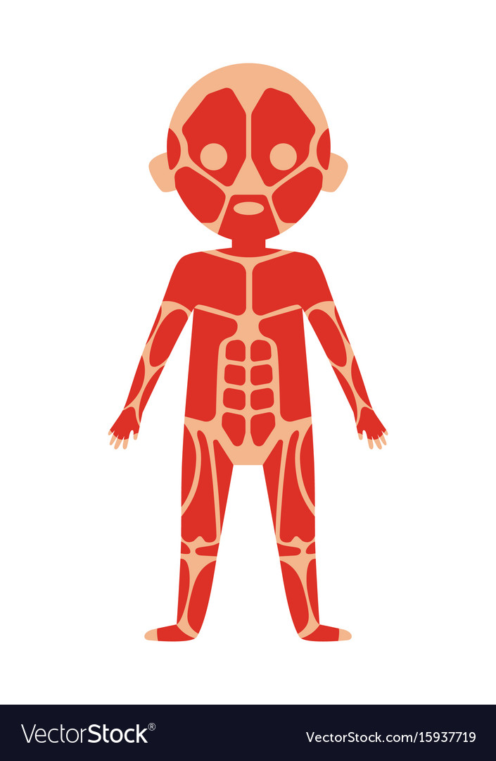 Boy body anatomy with muscular system Royalty Free Vector