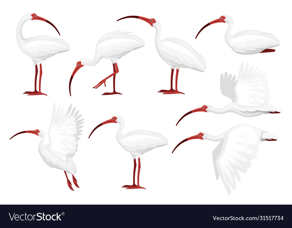Set american white ibis flat cartoon animal