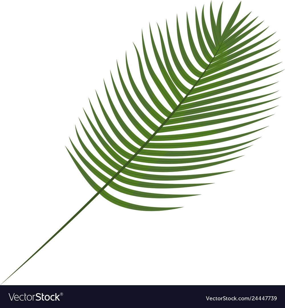 Robilini date palm tropical leaves botanical