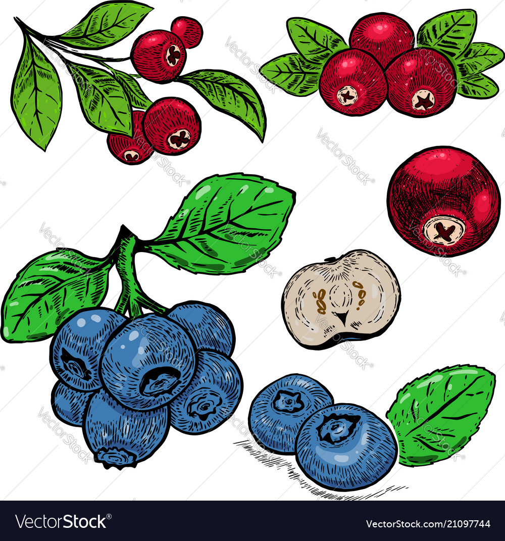 Hand drawn blueberry purple berries and red