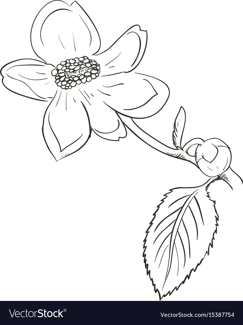 Beautiful Flower Draw Royalty Free Vector Image