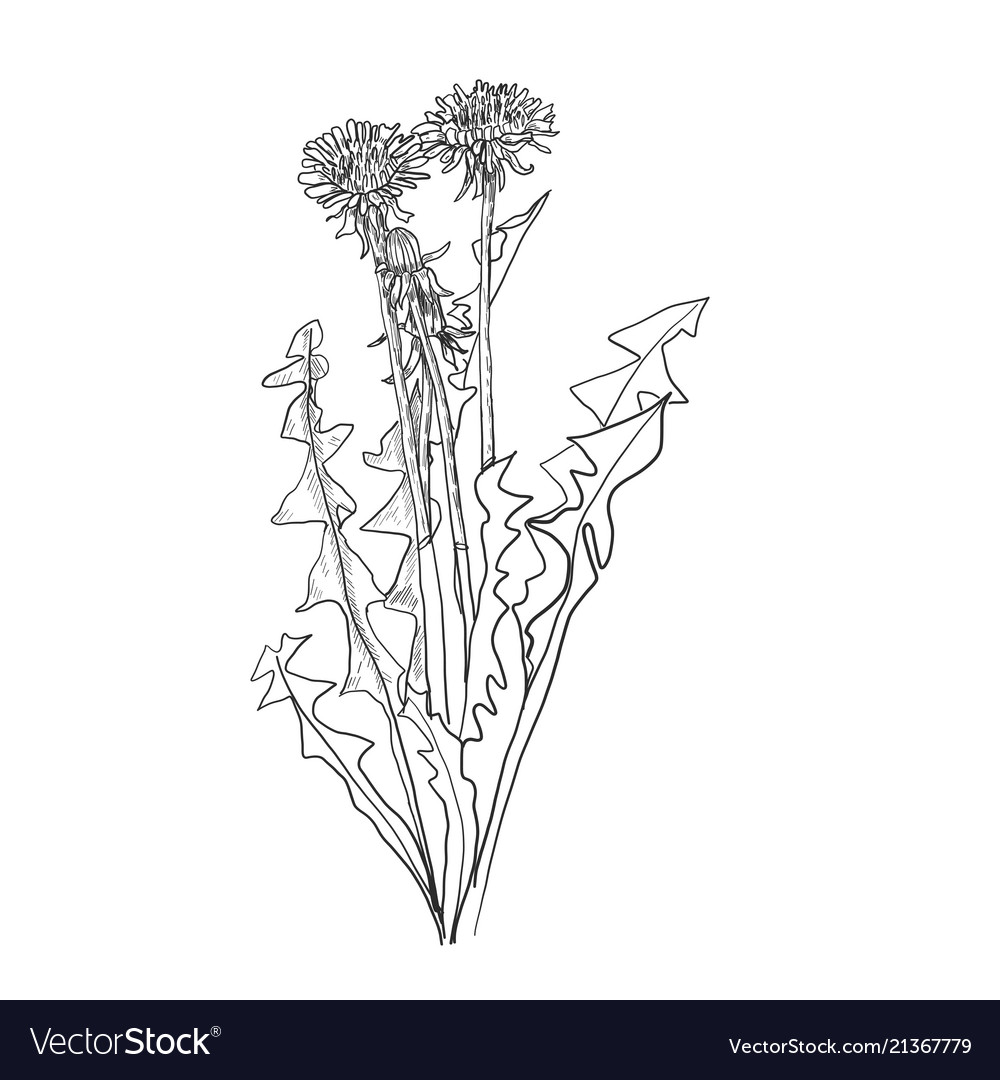 Dandelion flower drawing set isolated wild