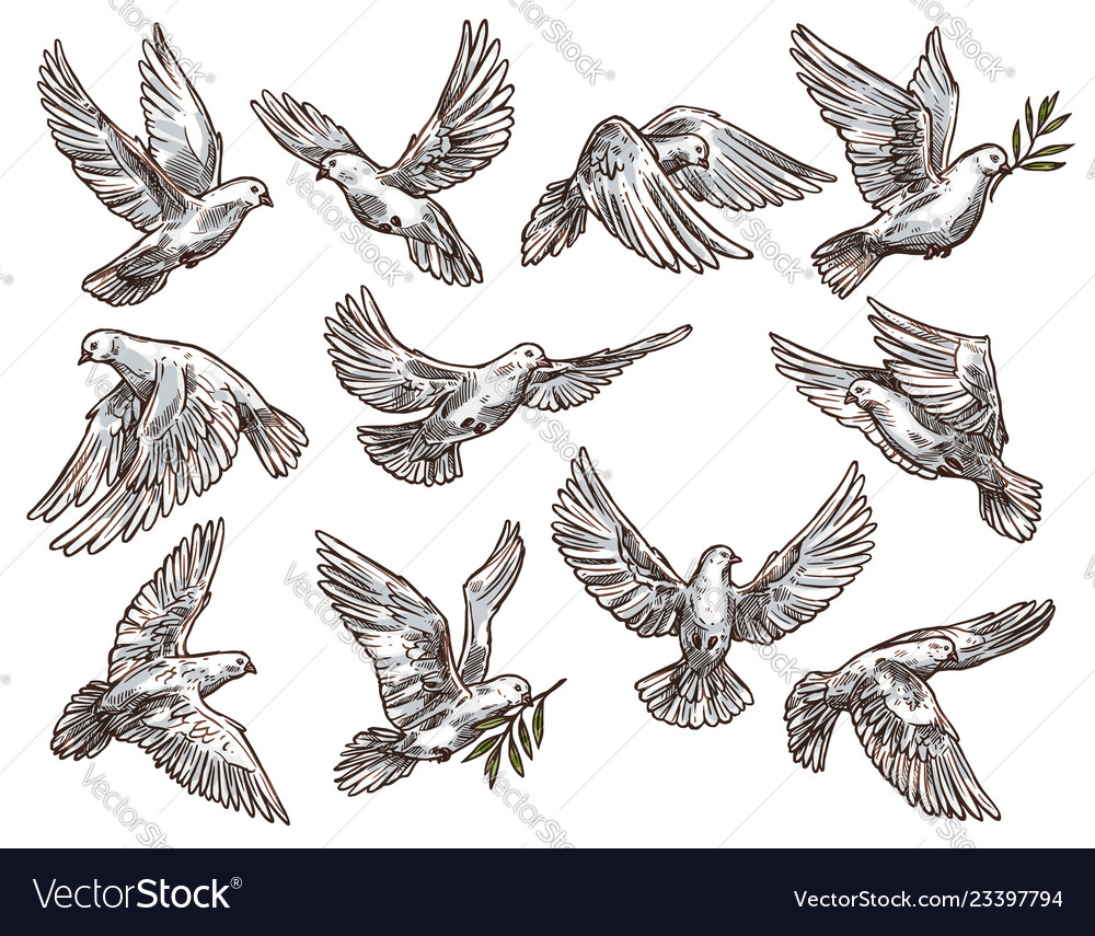 White dove with olive branch flying pigeon birds