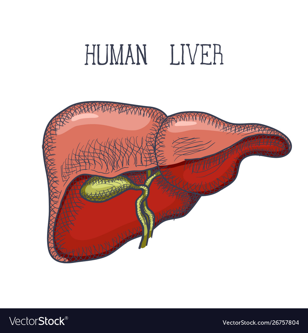 Sketch ink human liver hand drawn doodle style