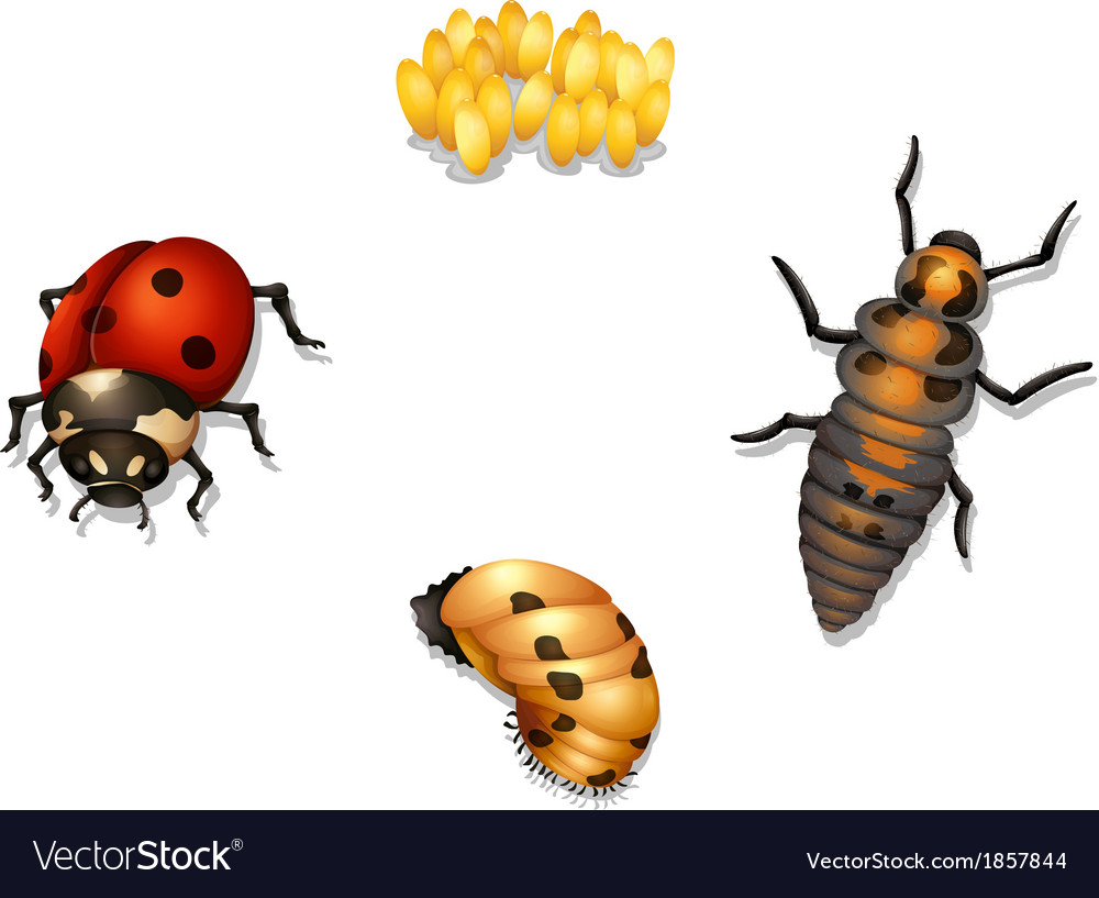 ladybug life cycle royalty free vector image vectorstock