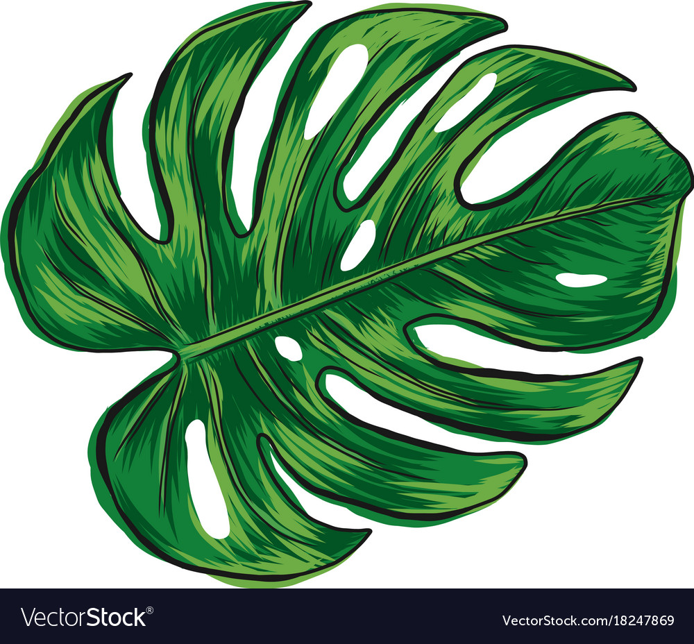 Hand Drawn Monstera Deliciosa Tropical Leaf Vector Image It shows a little light shining trough the leaves. vectorstock