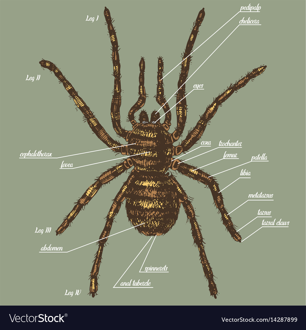 A spider anatomy include all name Royalty Free Vector Image