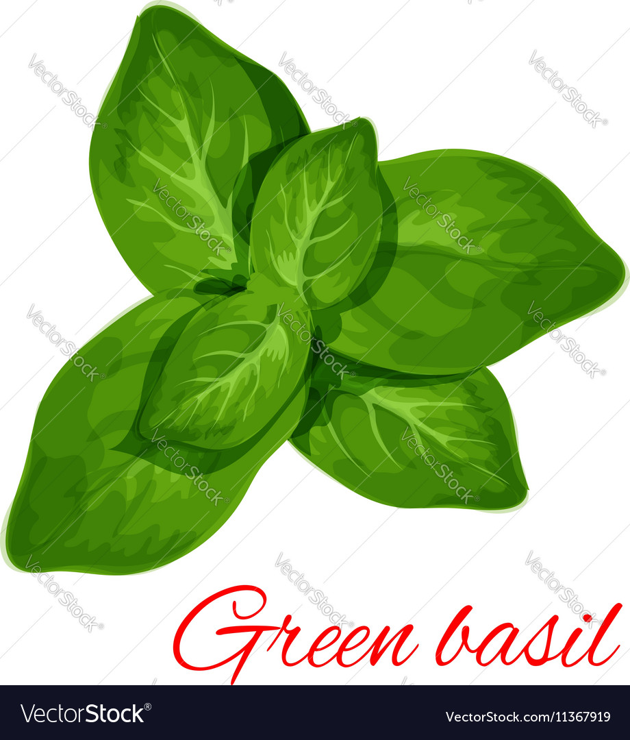 Green Basil Herb Leaves Isolated Icon Royalty Free Vector