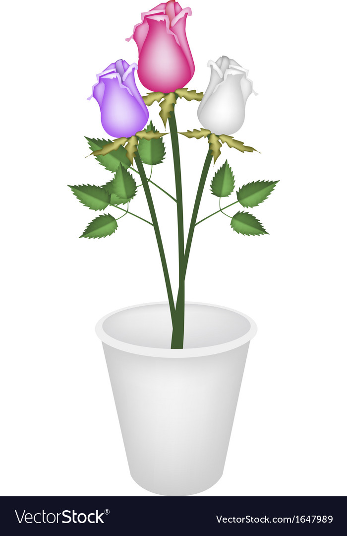 Three Beautiful Roses in White Flower Pot vector image