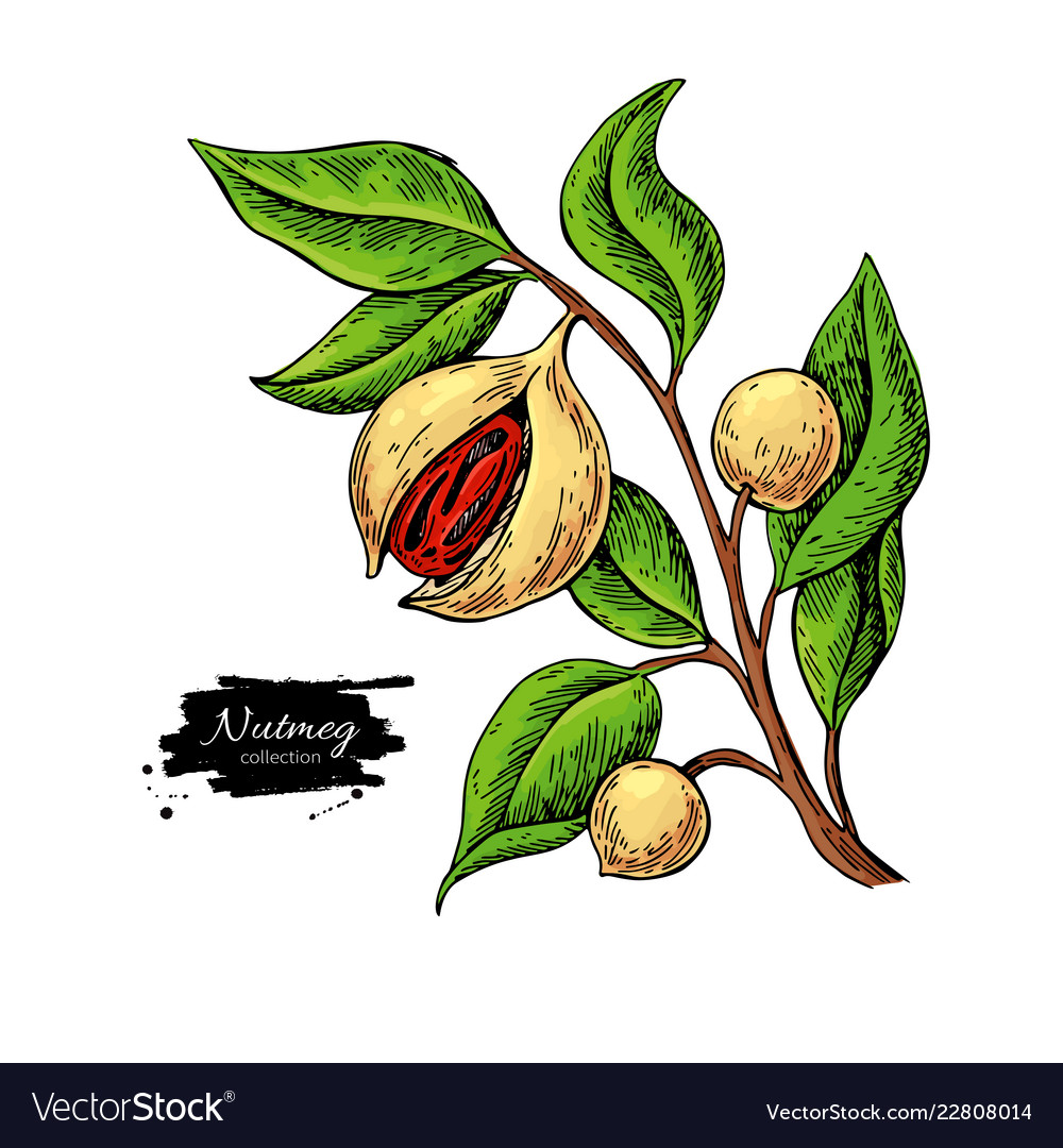 Nutmeg plant branch drawing botanical